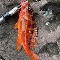 ショウさんの静岡県熱海市での釣果写真