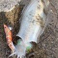 Sotarouさんの鹿児島県出水郡での釣果写真