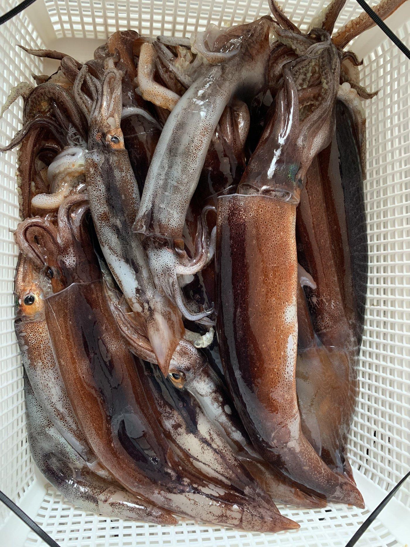 takaさんの投稿画像,写っている魚はスルメイカ,ケンサキイカ