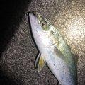 中トロさんの新潟県新潟市での釣果写真