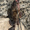Takeさんの兵庫県でのカサゴの釣果写真