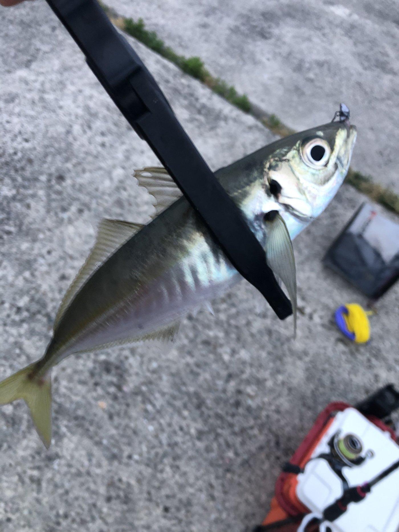 はっしぃさんの投稿画像,写っている魚はアジ,マサバ
