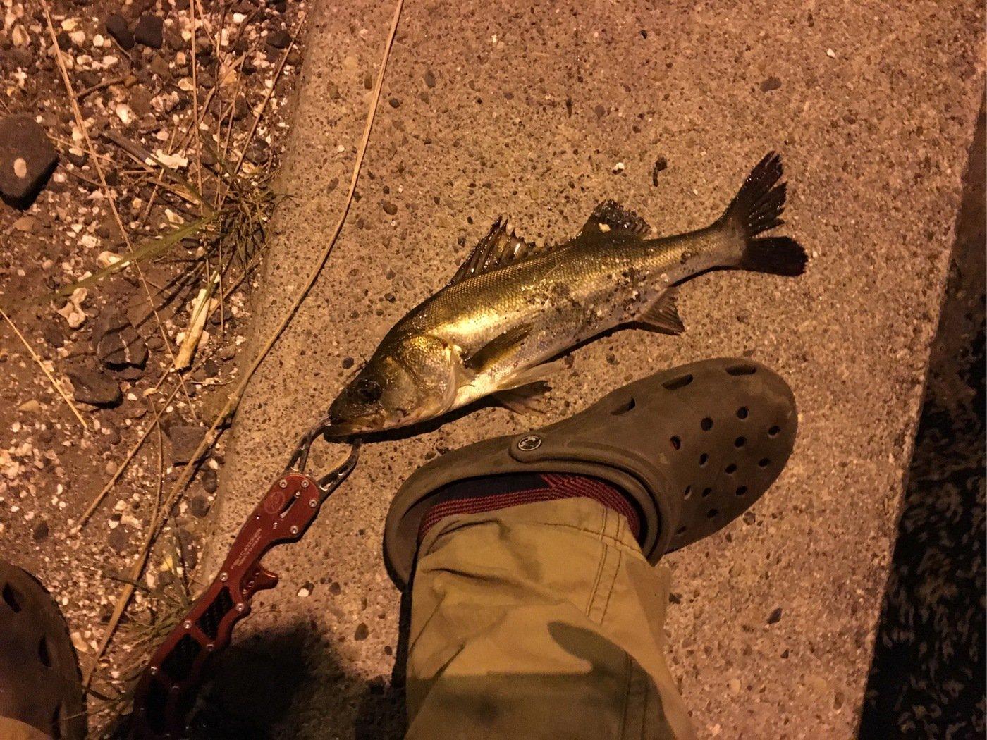 雷魚さんの投稿画像,写っている魚はスズキ