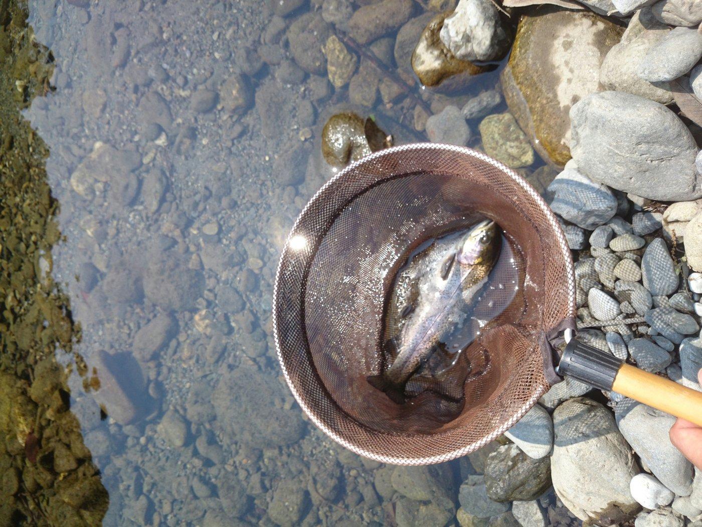 タニタツさんの投稿画像,写っている魚はニジマス