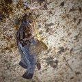 Hutさんのタケノコメバルの釣果写真