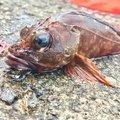sasapiさんの静岡県熱海市での釣果写真