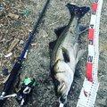 釣り人。@社会人さんの千葉県市原市での釣果写真