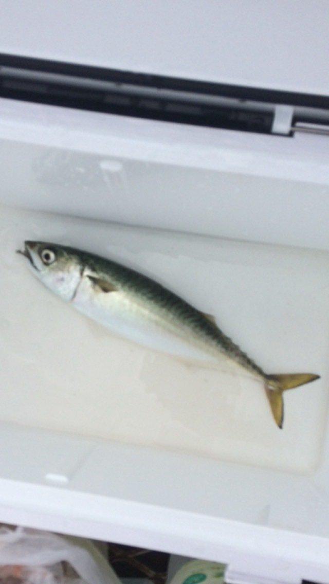 たかさんの投稿画像,写っている魚はマサバ