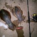 釣りおますさんのアオリイカの釣果写真