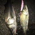 やまさんの千葉県船橋市での釣果写真