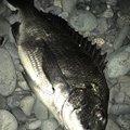 TETSUさんの静岡県沼津市でのクロダイの釣果写真