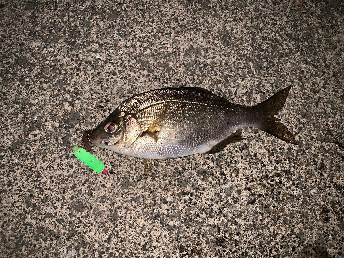 おさむさんの投稿画像,写っている魚はウミタナゴ