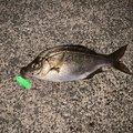 おさむさんの北海道小樽市での釣果写真