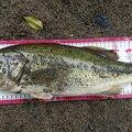 ぴやーんさんの和歌山県西牟婁郡での釣果写真