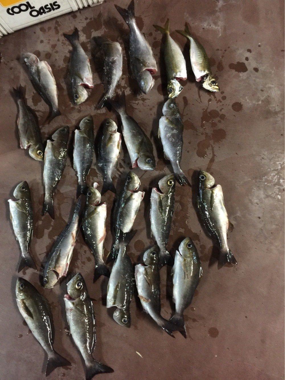 タケオさんの投稿画像,写っている魚はイサキ