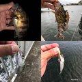 しんいちさんのマサバの釣果写真