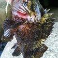 snufkin49さんのムラソイの釣果写真