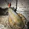 プリーマさんのアオリイカの釣果写真