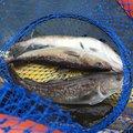 琥珀さんの岩手県上閉伊郡での釣果写真