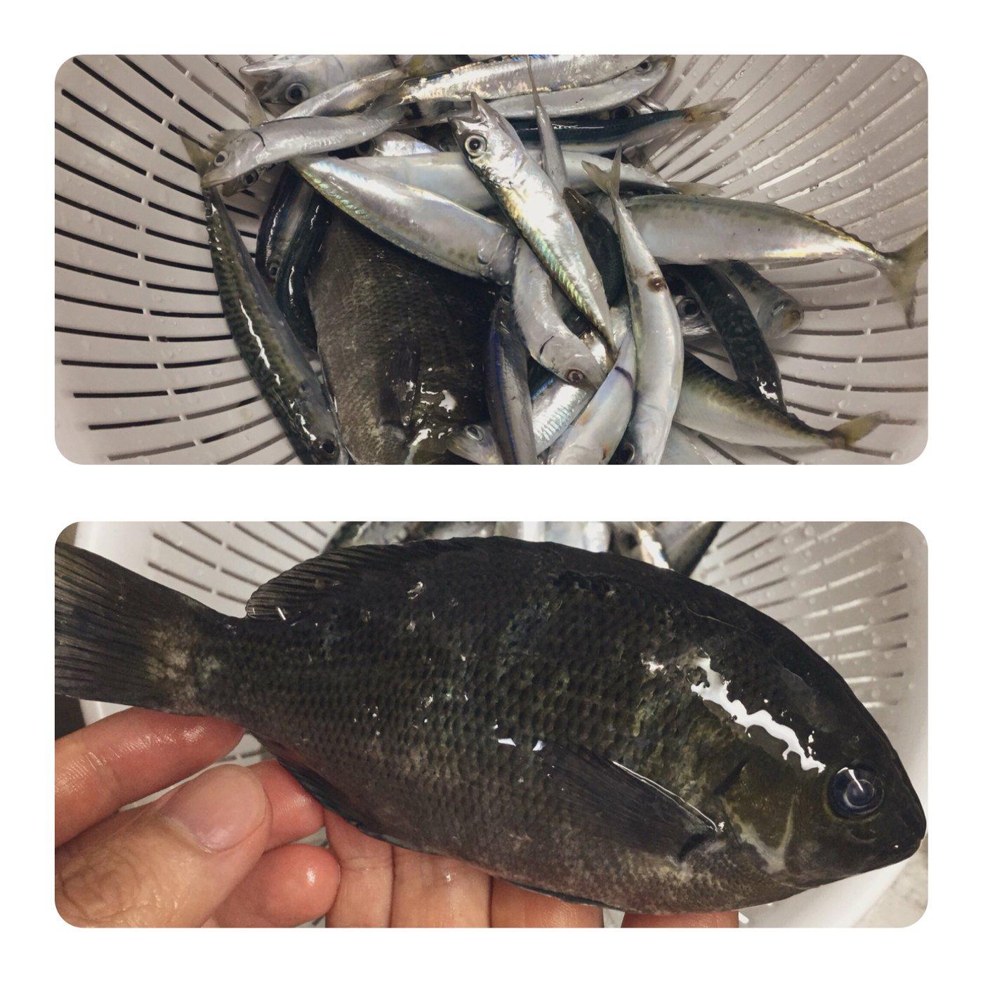 和平さんの投稿画像,写っている魚はメジナ,マイワシ,マサバ