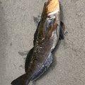 初心者!たむさんの北海道亀田郡での釣果写真
