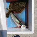 ひまゆりさんの岩手県大船渡市での釣果写真