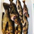 まうたんさんの兵庫県でのカサゴの釣果写真