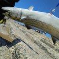 はじめちゃんさんの新潟県刈羽郡での釣果写真