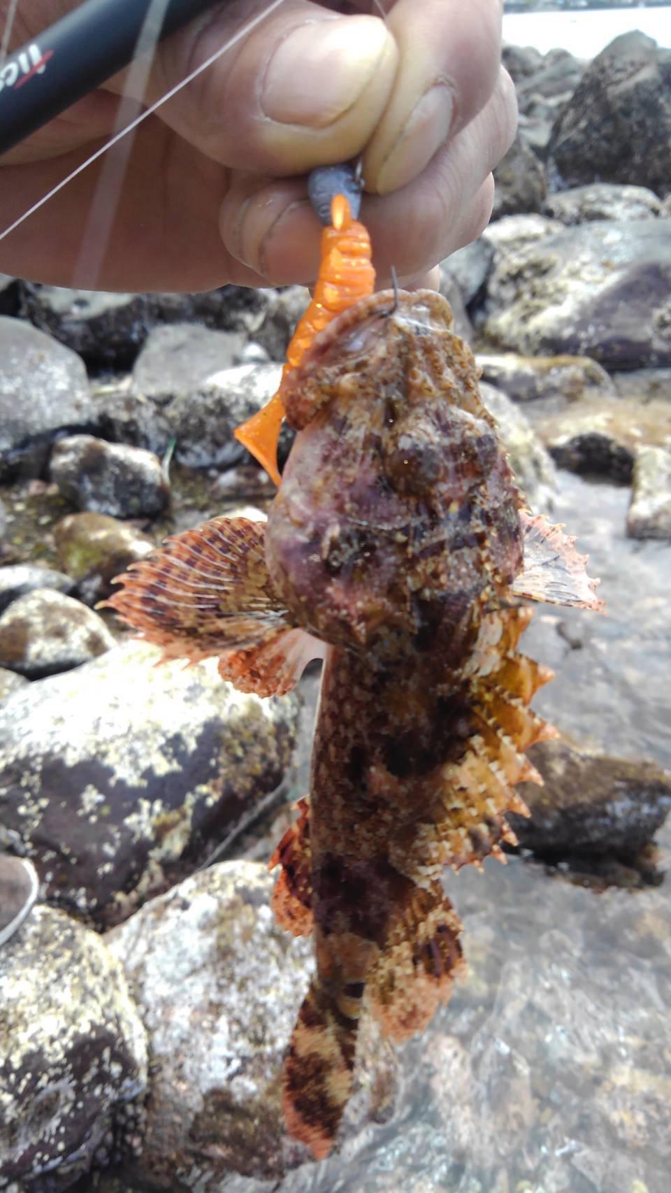 磯ROCK魂 直也さんの投稿画像,写っている魚はオニカサゴ,カサゴ