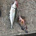 macyaakiさんのアジの釣果写真