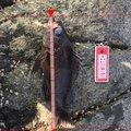 暑がるしやさんの青森県つがる市での釣果写真