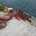 光さんの徳島県海部郡での釣果写真