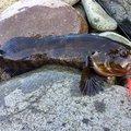 きーとんさんの北海道石狩市での釣果写真