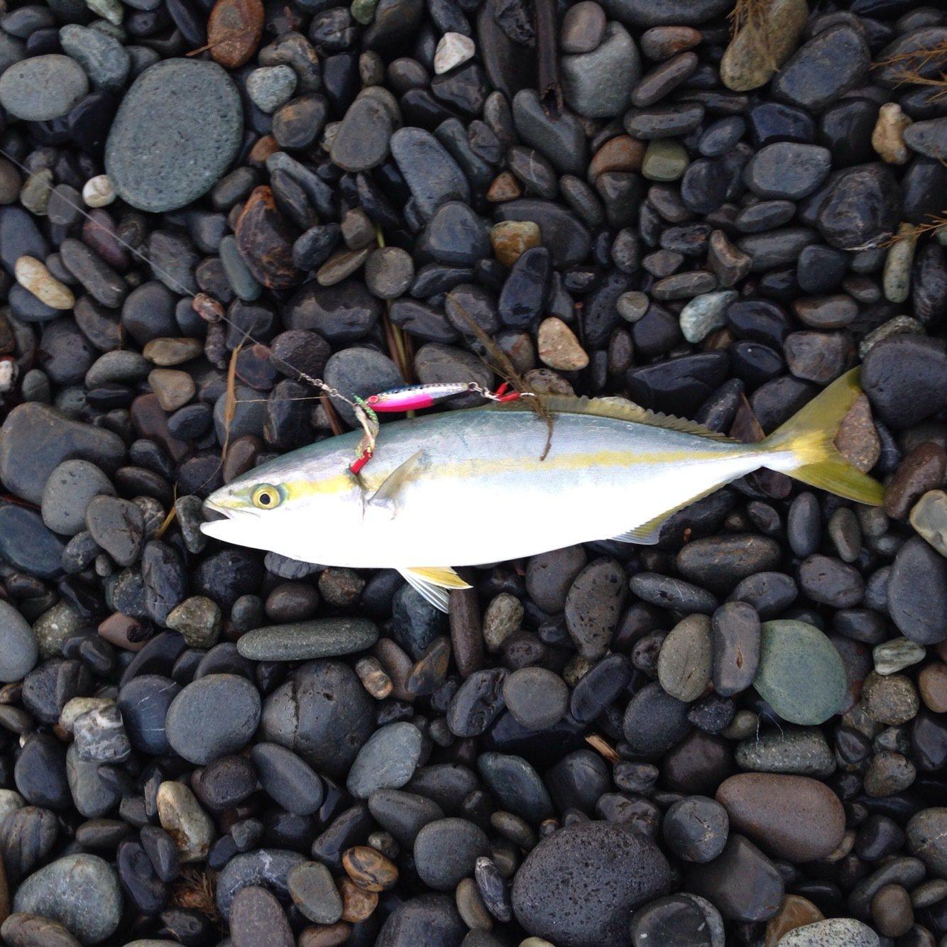 みつばちさんの投稿画像,写っている魚はブリ