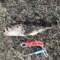 つりものがかり主任さんのタケノコメバルの釣果写真