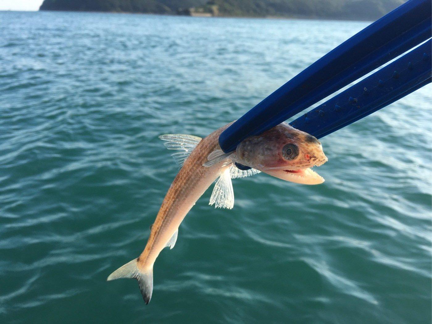 ゆうさんの投稿画像,写っている魚はエソ