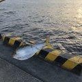 しょーけんさんの千葉県船橋市での釣果写真