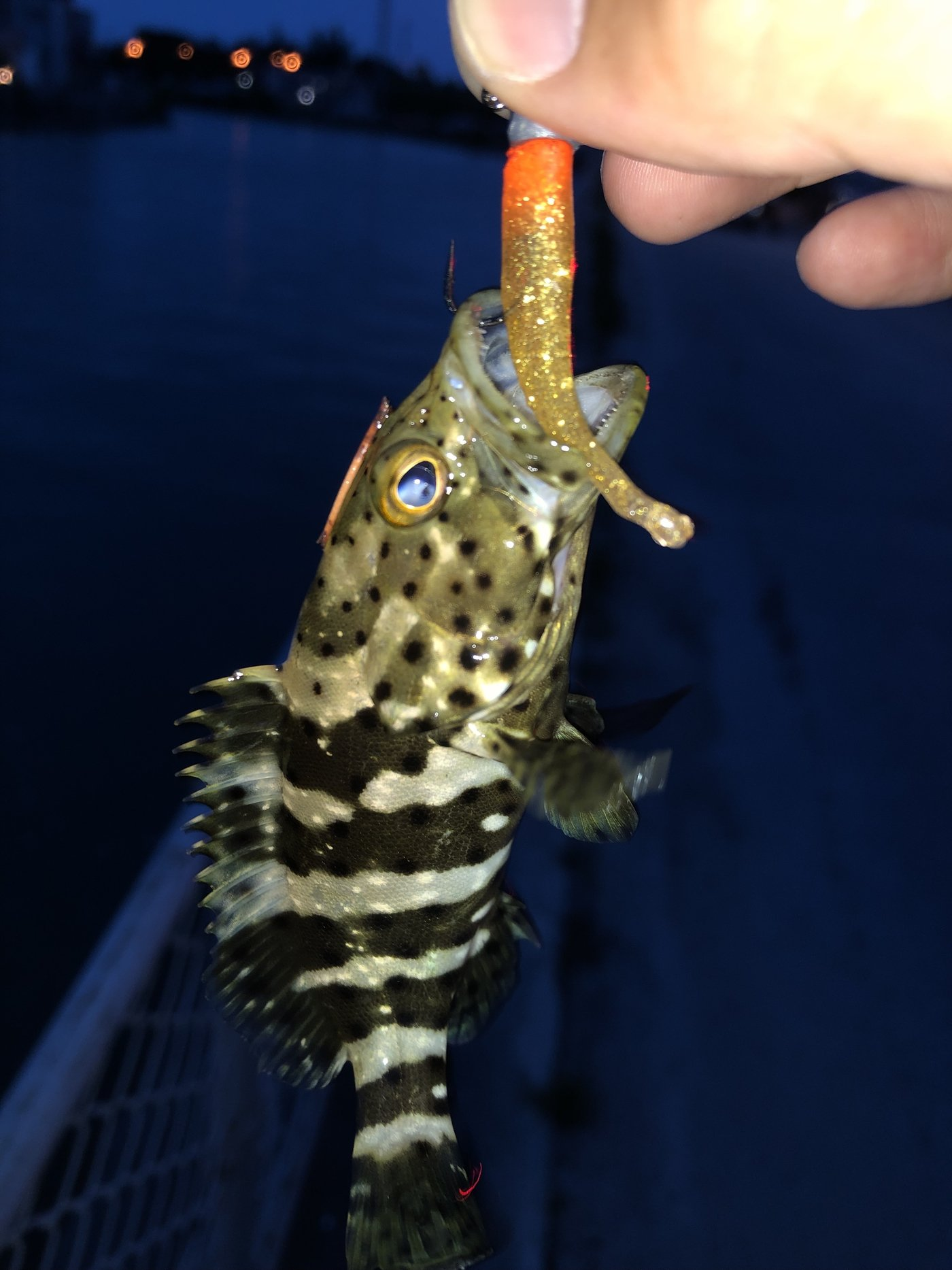 yoshiさんの投稿画像,写っている魚はヤイトハタ