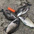 3ka.Bo-zuさんの新潟県上越市での釣果写真
