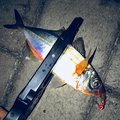 白帯アングラーさんのアジの釣果写真