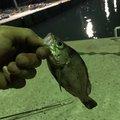 よしさんの鳥取県での釣果写真