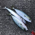 梟さんの新潟県新潟市での釣果写真