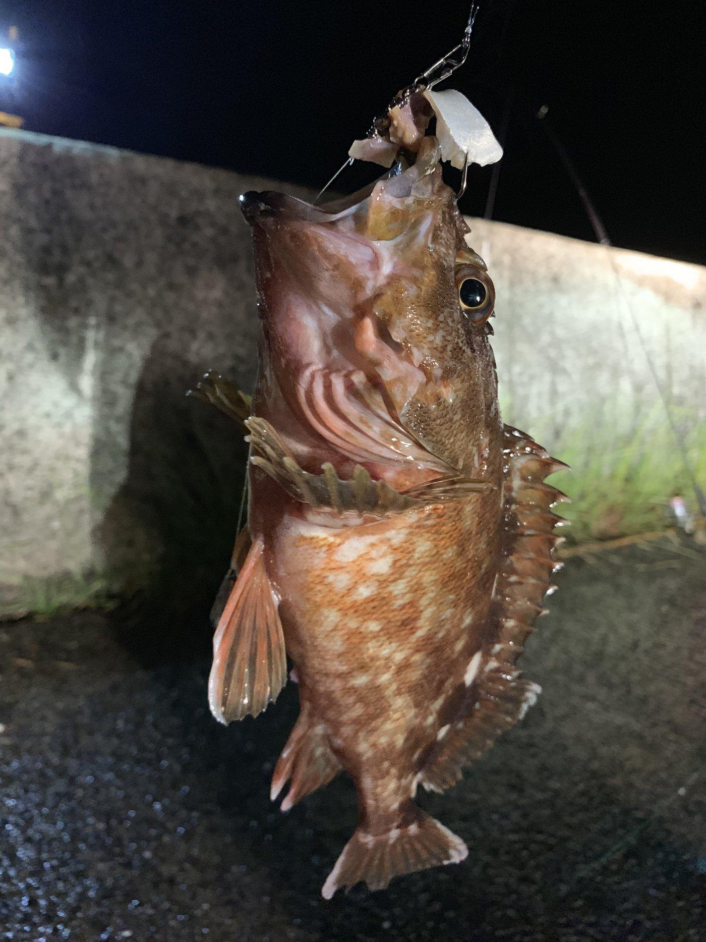 たいたいさんの投稿画像,写っている魚はカサゴ