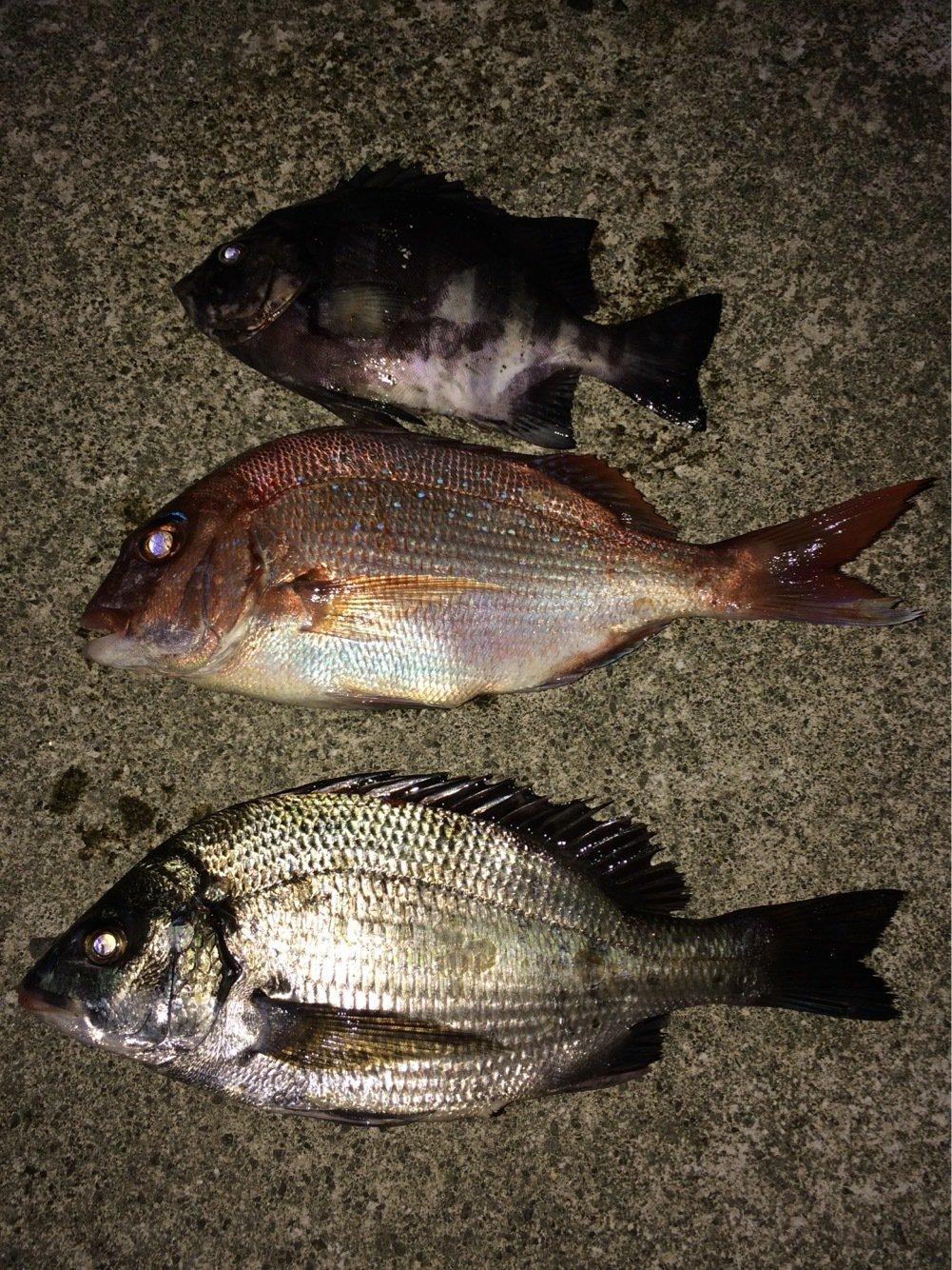 gonzuimaniacさんの投稿画像,写っている魚はクロダイ