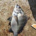 しげる君さんの千葉県館山市でのクロダイの釣果写真