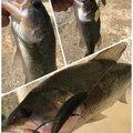 金田鯛蔵さんの山形県での釣果写真