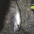 tdoさんの静岡県静岡市でのマサバの釣果写真