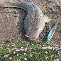 さよ*ˊᵕˋ)੭さんの千葉県南房総市での釣果写真