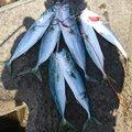 三上穂積さんの青森県つがる市での釣果写真