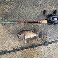 ととのすけさんの兵庫県でのメバルの釣果写真